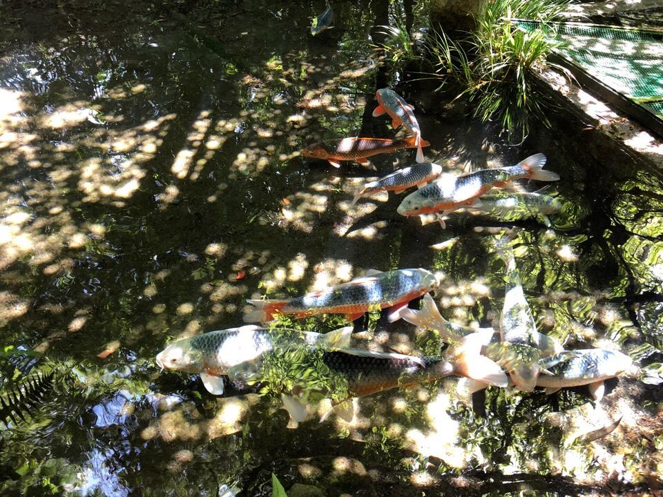 山の寺 邑居の池には鯉が気持ちよさそうに泳いでいる